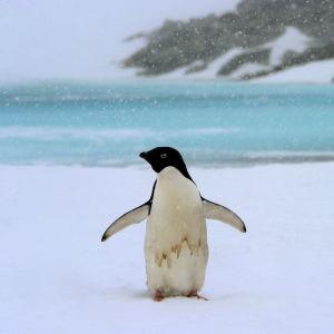 adeliepingvin i snöfall