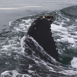 Ryhävalaan selkäevä vedenpinnalla.