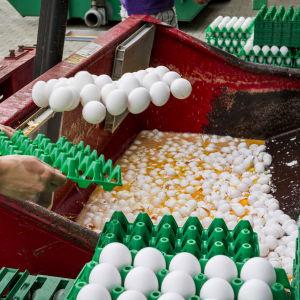 Ägg förstörs på en farm i Onstwedde, Nederländerna. Äggen kastas i en container av den nederländska livsmedelsmyndigheten den 3 augusti.