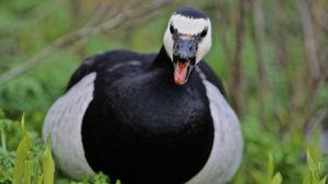 Vihaiselta näyttävä valkoposkihanhi sähisee nokka auki.