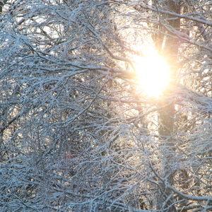 Solen skiner fram mellan snöiga grenar.