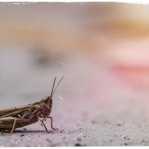 Kuvituskuva: heinäsirkka.