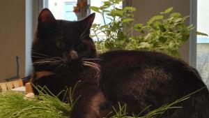 Otso Hultkrantz svarta katt liggande i en kruka.