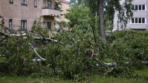Träd som fallit under storm på Drumsö i Helsingfors