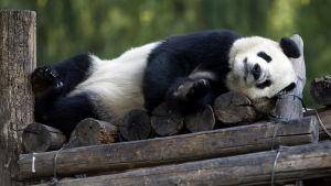 En jättepanda i djurparken i Peking tar en tupplur.