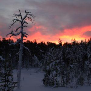 lumisia mäntyjä ja kelo kaamosajan taivasta vasten
