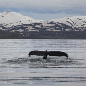 Ryhävalas valmistautuu sukeltamaan Pohjois-Islannissa.
