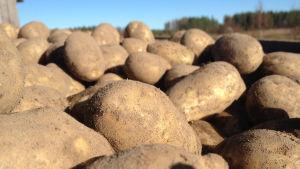 Nyligen upptagen potatis på vagn