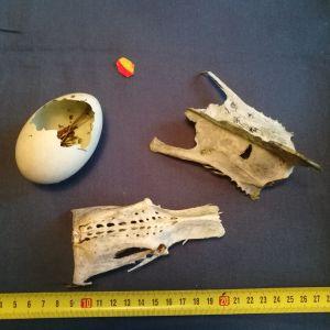 6 åriga Vilgot hittade under en utfärd med sin mamma många uppätna ägg utspridda över hela ön, skelettsdelar och små rödgula bollar fyllda med ljusgul smet. De undrar om äggen kan vara svanägg, vilka skelettdelar de hittat och vad bollarna är.