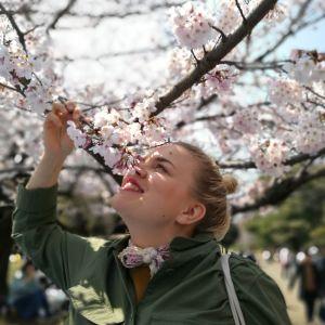 Toimittaja tuoksuttelee kirsikankukkaoksaa.