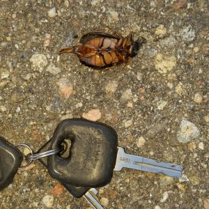 Jag har vad jag tror är dykbaggar i bakluckan på bilen. Kan de flyga, är de nattaktiva, kommer de från ån som är nära? Hälsn. Conny