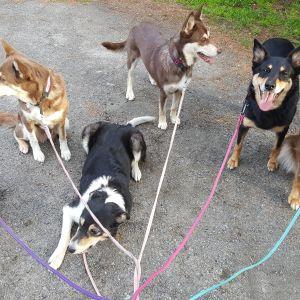 Koiria talutushihnassa.
