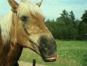 Suomenhevonen Askel kesälaitumella 1977