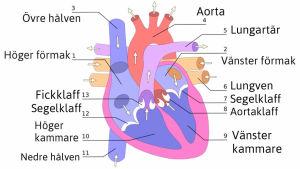 Hjärtats delar
