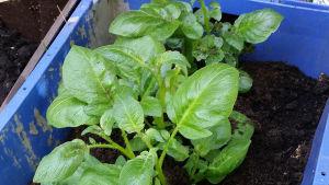 Jääkaapin jämäperunat noin kuukauden kuluttua istuttamisesta. Lisää multaa varmuuden vuoksi jo tässä vaiheessa, ettei mukuloista tule vihreitä.
