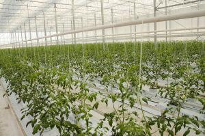 Jonathan Nordbergs tomatplantor inne i växthuset.