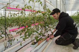 Jonathan Nordberg tittar på tomatplantor som finns bredvid röda och blåa ledlampor.