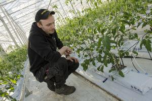 Jonathan Nordberg kollar temperaturen i tomatplantans stenull, med hjälp av en termometer.