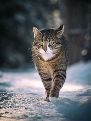 En katt tassar fram i snön.