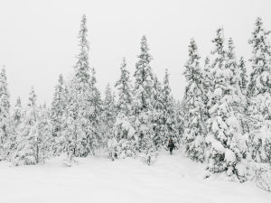 Snötyngda granar.