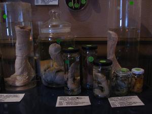 Konserverade fallosar utställda på Islands fallologimuseum.