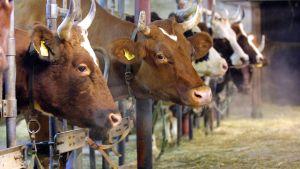 Kor står på rad.