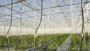 Växthus med en massa gröna tomatplantor.