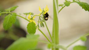 En humla och en blomma på en tomatplanta.