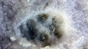 Tassavtryck av varg i snön
