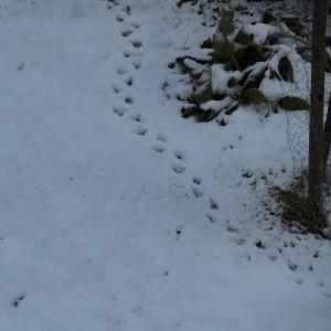 Christine i Vasa har fotograferat dessa fotspår i slutet av april. Vem har lämnat dessa fotspår i snön?