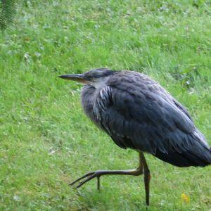 Fågel spatserar på gräsmatta