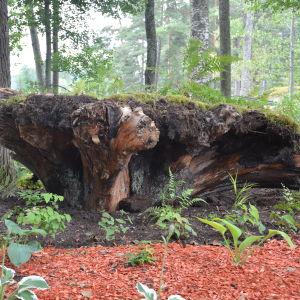 Finlands första stubbträdgård på Arboretum Magnolia vid Lojo sjö.