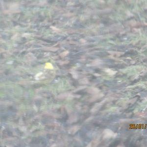 En fågel med gul hjässa fotograferad genom ett fönster.