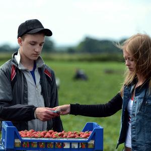 Wojtek (Stanislaw Cywka) får ett kvitto av Anneli (Nelly Axelsson) för den låda jordgubbar han just plockat.