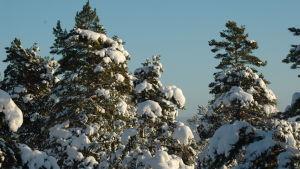Snötäckta träd