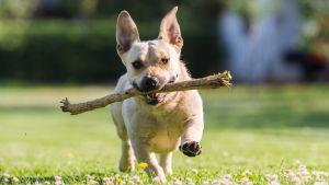 En hund springer på en gräsmatta med en pinne i munnen.