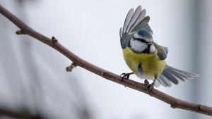 Tanssiva lintu