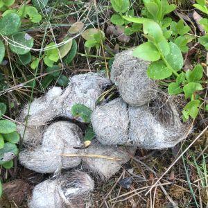 Susanne upptäckte på mossan bland blåbärsriset en konstig hög. Är det här spybollar eller exkrementer undrar hon.
