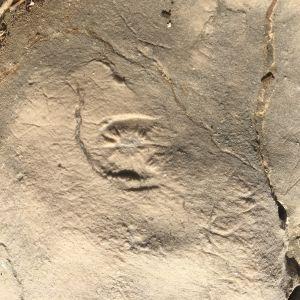 En fossil på en sten som fotograferats i Kroatioen