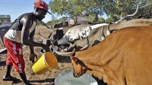 En man i Moçambique ger vatten åt sina kor. Moçambique är ett av de hårdast drabbade av den omfattande torkan i södra Afrika.