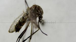 En zikamygga