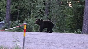Björnen besöker Borgå