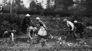 Svartvit bild från 1921 där folk sätter potatis.