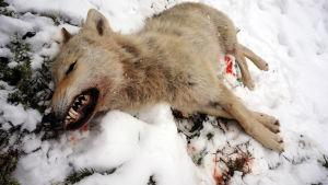 Död varg -
