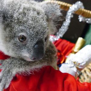 Den ettåriga koalan Bon Bon firar jul på Rainforestation Nature Park i Cairns i Australian.