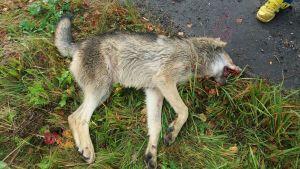 En död varg ligger vid en vägren.