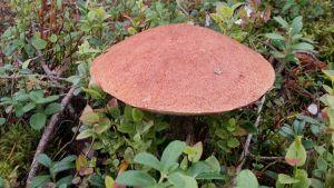 En tallsopp med stor brun hatt sticker upp i lingonris.