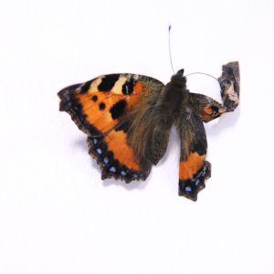 Ebba hittade en märklig varelse på ett salladsblad. Hon skickade den i ett brev och under resan kläcktes en fjäril.