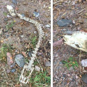 Bjarne Lindroos stötte på detta kranium i Bromarf rätt nära stranden. Vad kan det ha varit för ett djur undrar han.