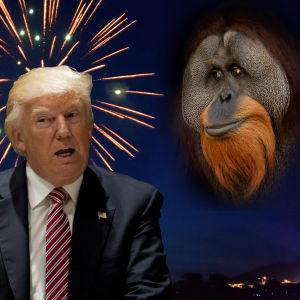 Ett bildmontage med Donald Trump, en igelkott och en orangutang.